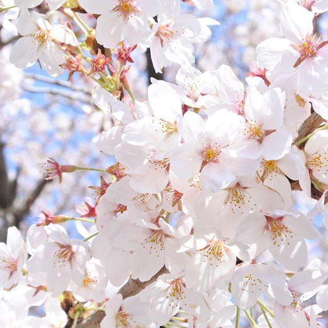 逢瀬川沿いの桜も散り始めだけど、まだまだきれいだ。花見も今週が最後かな〜