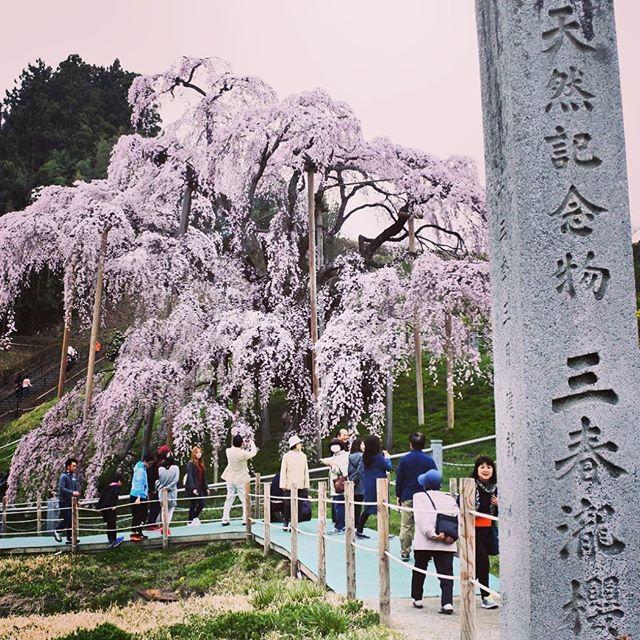 三春滝桜が満開だった。だけどやっぱり花より団子が食べたいね〜。#三春滝桜 #三春 #桜 #満開 #郡山 #koriyama #fukushima #綺麗 #渋滞