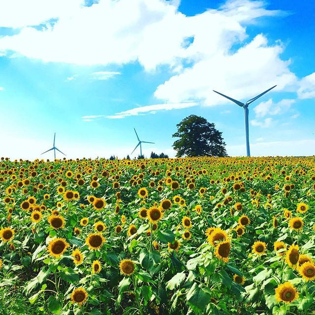 布引高原のひまわり畑。まだ間に合う!風車も間近に見えて気持ちいいね。#布引高原 #ひまわり畑 #ひまわり #風車 #きれい #デート #家族連れ #風力発電所 #湖南町 #郡山市 #郡山 #猪苗代湖