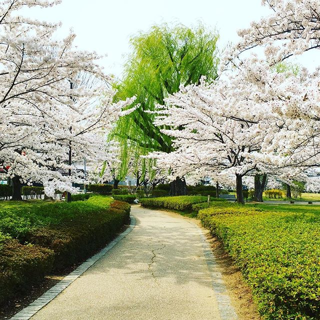郡山の荒池公園も満開。レジャーシート持って来て花見だ。#荒池公園 #桜 #お花見 #花見 #レジャーシート #ピクニック #風が強い #満開 #桜吹雪 #柳 #池 #だんご #ランチ #お花見ランチ #郡山 #郡山市 #愛宕